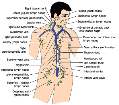 what is lymph?, Human Body